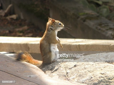 brown squirrel on sand. : Stock Photo