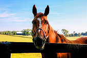 Brown Stallion behind a four-bar fence at a stud farm near Lexington KY