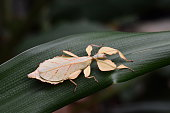 Brown leaf insect from Indonesia hangs around on a plant