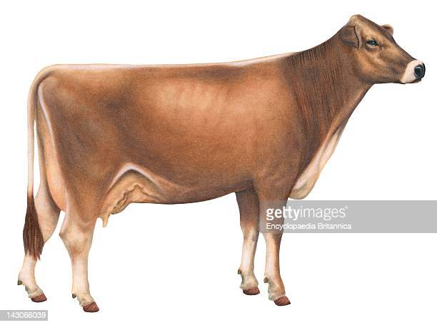 Brown Swiss Cow Brown Swiss Cow A Cattle Breed Native To Switzerland And Probably One Of The Oldest Breeds In Existence