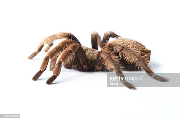 Brown Tarantula