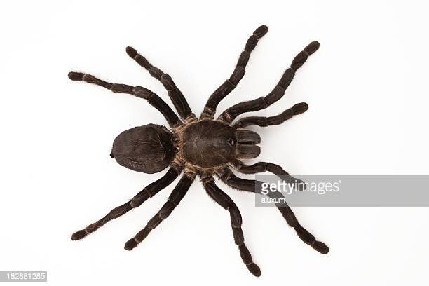 A brown tarantula spider on a white background