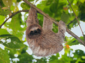 Young brown throated sloth hanging from a branch in the jungle, Bocas del Toro, Panama, Central America