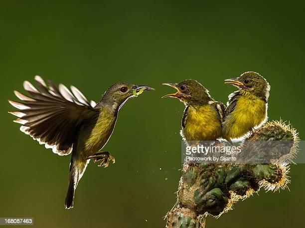 Brown Throated Sunbird - Female