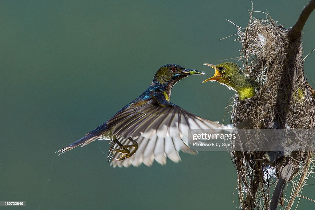 Brown throated sunbird - Male