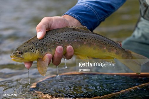 Brown Trout, Salmo trutta