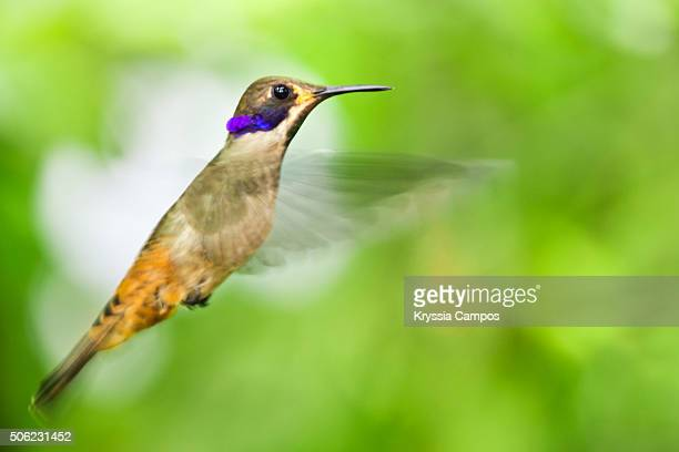 Brown Violet-ear (Colibri delphinae) hummingbird, Costa Rica