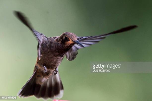 A Brown Violetear hummingbird is photographed at the 'Alejandria Farm' during bird watching in the framework of Colombia's BirdFair 2017 in a rural...