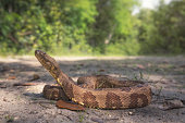 Brown Water Snake (Nerodia taxispilota)