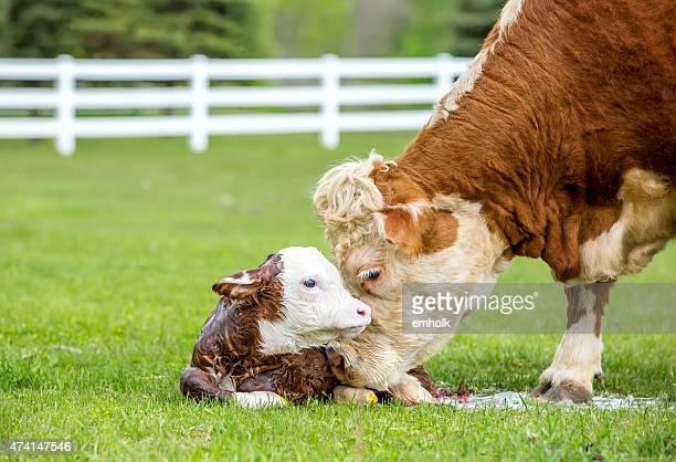 Brown & White Hereford Cow Licking Newborn Calf