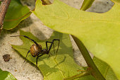 A Brown Widow Spider making her web in Florida.