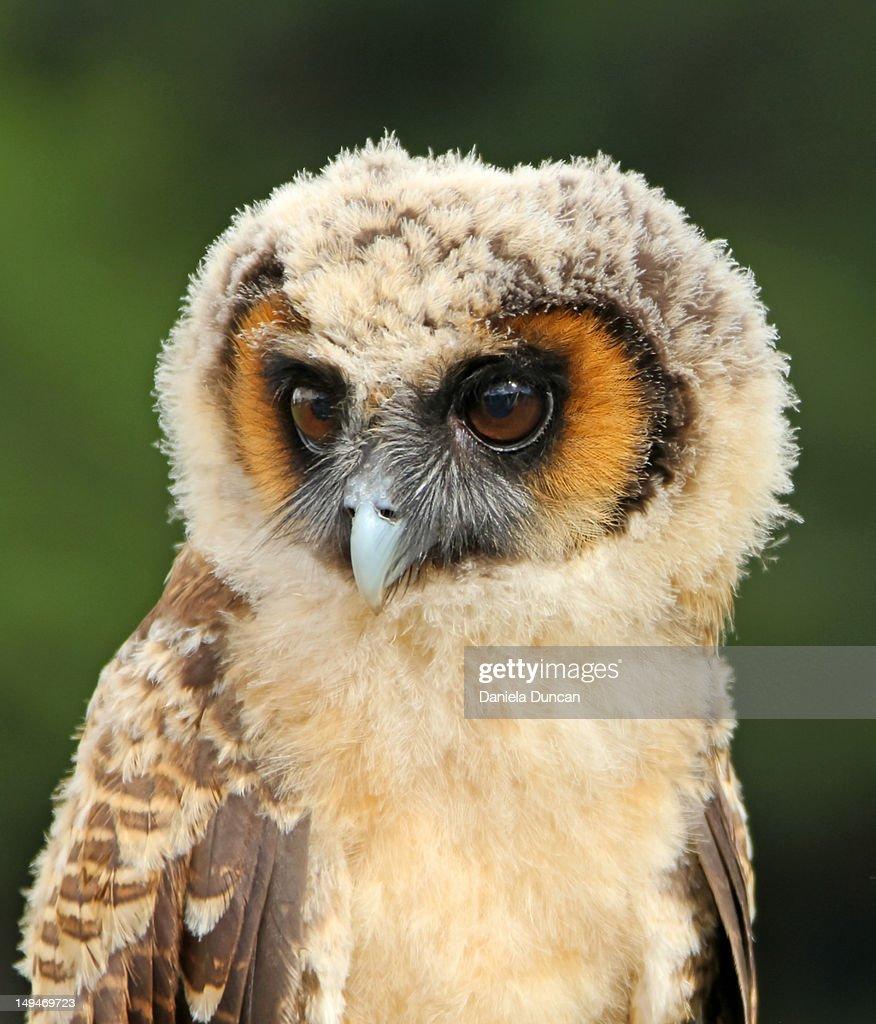 Brown Wood Owl : Stock Photo