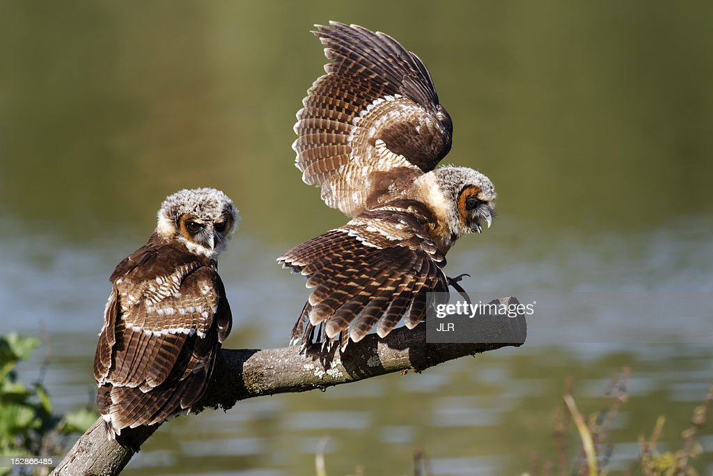 Brown wood owls : Stock Photo
