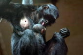 A brownheaded spider monkey nurses her twodayold baby at Aalborg Zoo in the north of Jutland province 02 July 2004 The baby is a sensation as the...