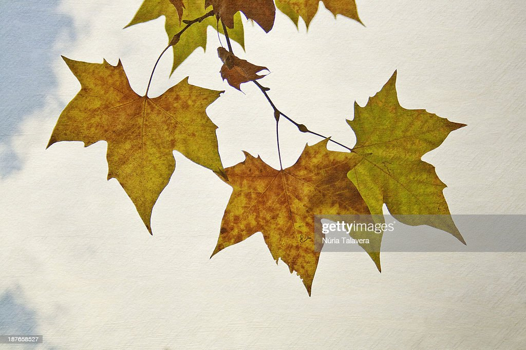 Brownish and yellowish leaves on a tree : Stock Photo