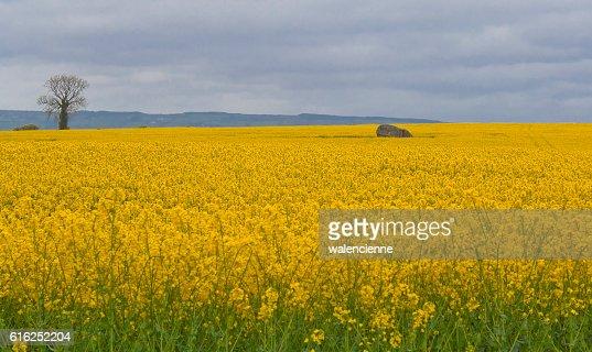 Brownshill Dolmen seen among yellow rapeseed field : Foto de stock