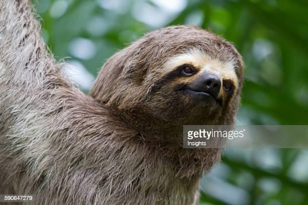 BrownThroated Sloth Biocentro Guembe Santa Cruz Bolivia