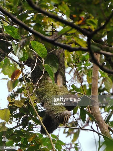 brown-golabianca accidia, Bradypus variegatus, albero