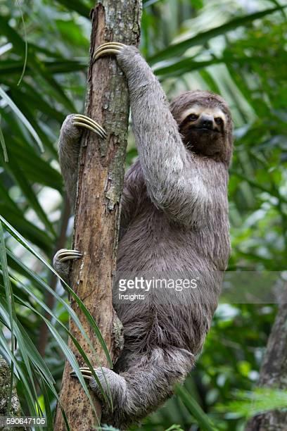 BrownThroated Sloth On A Tree Biocentro Guembe Santa Cruz Bolivia