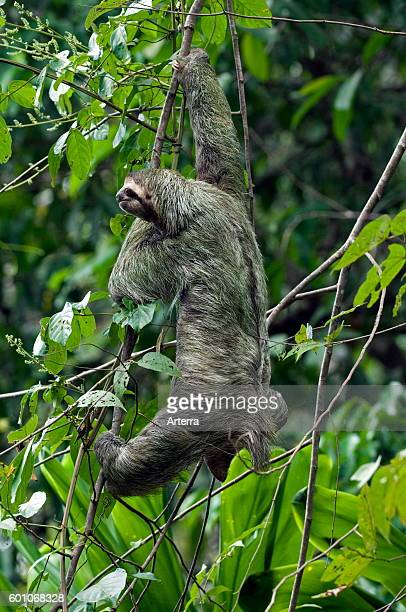 Brownthroated sloth / threetoed sloth climbing in tree Central America