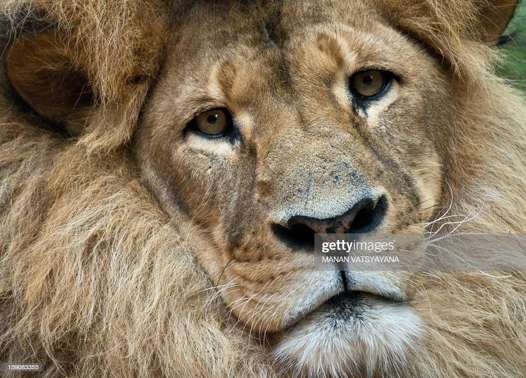 Bruiser, a lion rests in its enclosure at the Taronga Zoo in Sydney on January 8, 2013. Keepers at the Taronga zoo prepared cold treats for animals to give them respite from the hot weather.