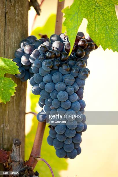 Brunello grapes Sangiovese growing on vine at the wine estate of La Fornace at Montalcino in Val D'Orcia Tuscany Italy