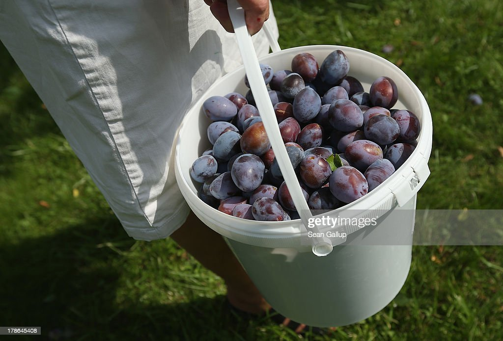 Bruni Weisz, a member of the Oeynhausen Small Garden Association garden colony, carries a bucket filled with plums she harvested from a tree in the garden she has leased for the last 13 years in the colony on August 29, 2013 in Berlin, Germany. At the Oeynhausen colony about 300 of its 438 gardens are currently threatened by real estate development, as are about another 24 colonies across the city. Berlin has about 900 garden colonies that are owned by the city and that provide urban dwellers who don't have land of their own the opportunity to maintain a garden and escape the stress of urban life. Berlin is currently undergoing a housing squeeze and city authorities are beginning to sell some of the colonies to developers, which has caused outrage in a city where the colonies of small gardens are a deep-seated tradition going back over a century.