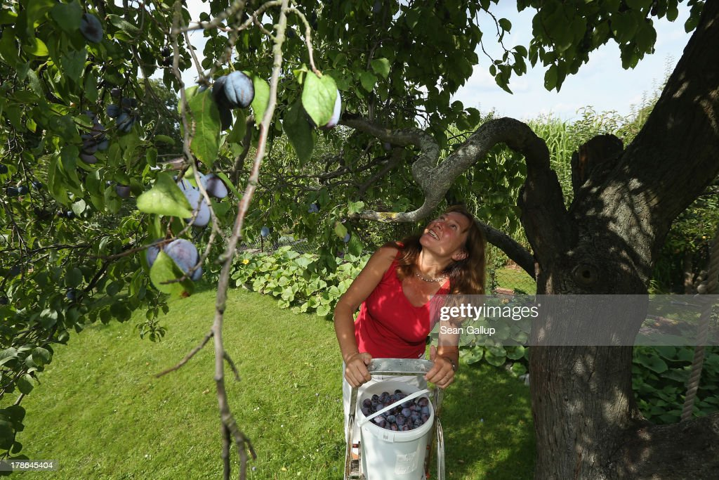 Bruni Weisz, a member of the Oeynhausen Small Garden Association garden colony, harvests plums froma tree in the garden she has leased for the last 13 years in the colony on August 29, 2013 in Berlin, Germany. At the Oeynhausen colony about 300 of its 438 gardens are currently threatened by real estate development, as are about another 24 colonies across the city. Berlin has about 900 garden colonies that are owned by the city and that provide urban dwellers who don't have land of their own the opportunity to maintain a garden and escape the stress of urban life. Berlin is currently undergoing a housing squeeze and city authorities are beginning to sell some of the colonies to developers, which has caused outrage in a city where the colonies of small gardens are a deep-seated tradition going back over a century.