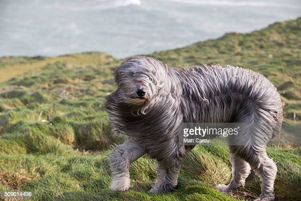 Bruno a bearded collie cross walks in the wind in Newquay on February 8 2016 in Cornwall England Parts of the UK are currently being battered by...