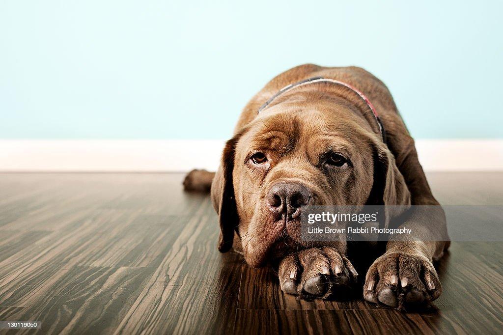 Bruno dog : Stock Photo