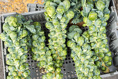 Brussel sprout stalks at the local market