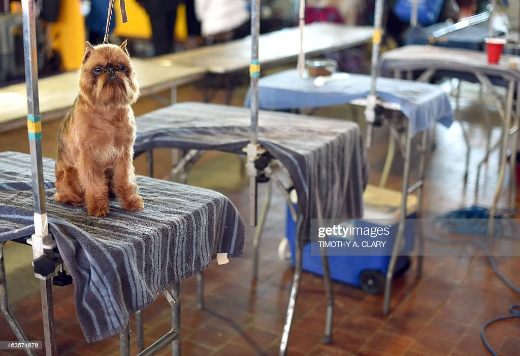 A Brussels Griffon in the benching area at Pier 92 94 in New York City on the first day of competition at the 139th Annual Westminster Kennel Club...