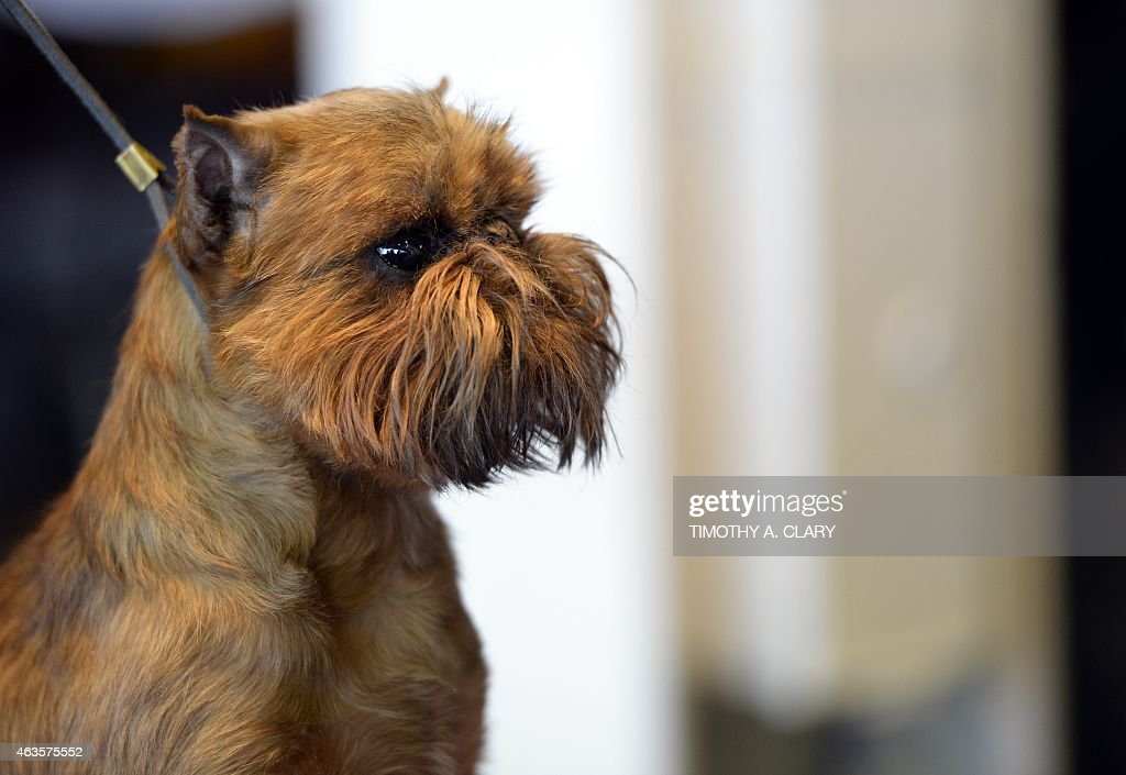 A Brussels Griffon in the benching area at Pier 92 and 94 in New York City on the first day of competition at the 139th Annual Westminster Kennel...
