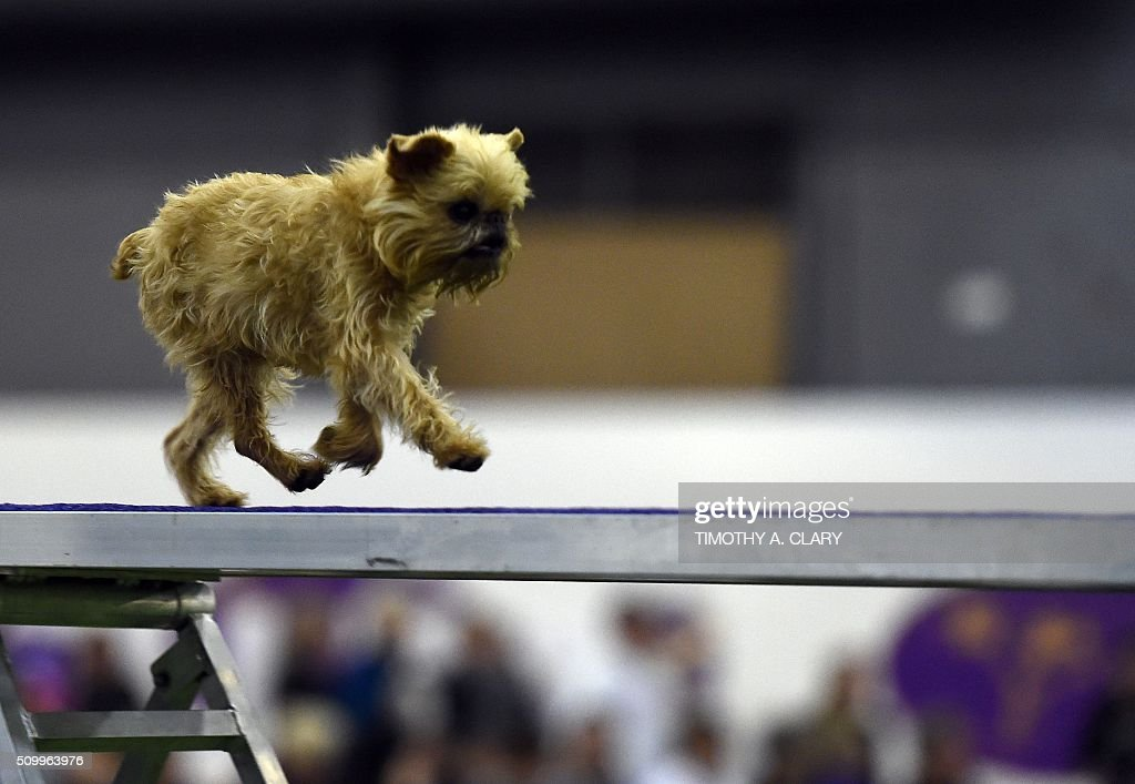 A Brussels Griffon runs the agility course during the 3rd Annual Masters Agility Championship on February 13 2016 in New York at the 140th Annual...