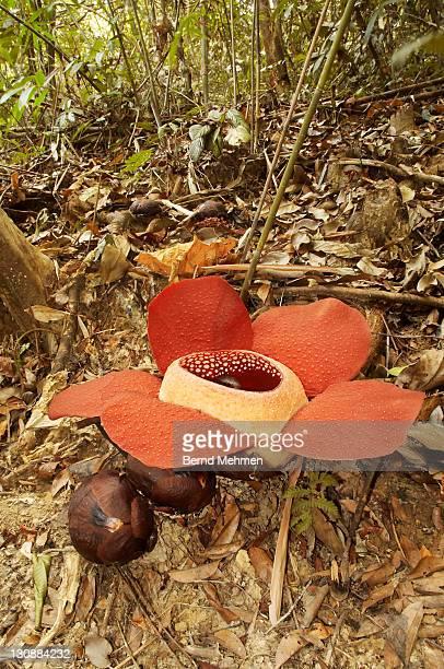 Bua Phut or Bua Tum (Rafflesia kerrii), flower and buds, Khao Sok National Park, Thailand