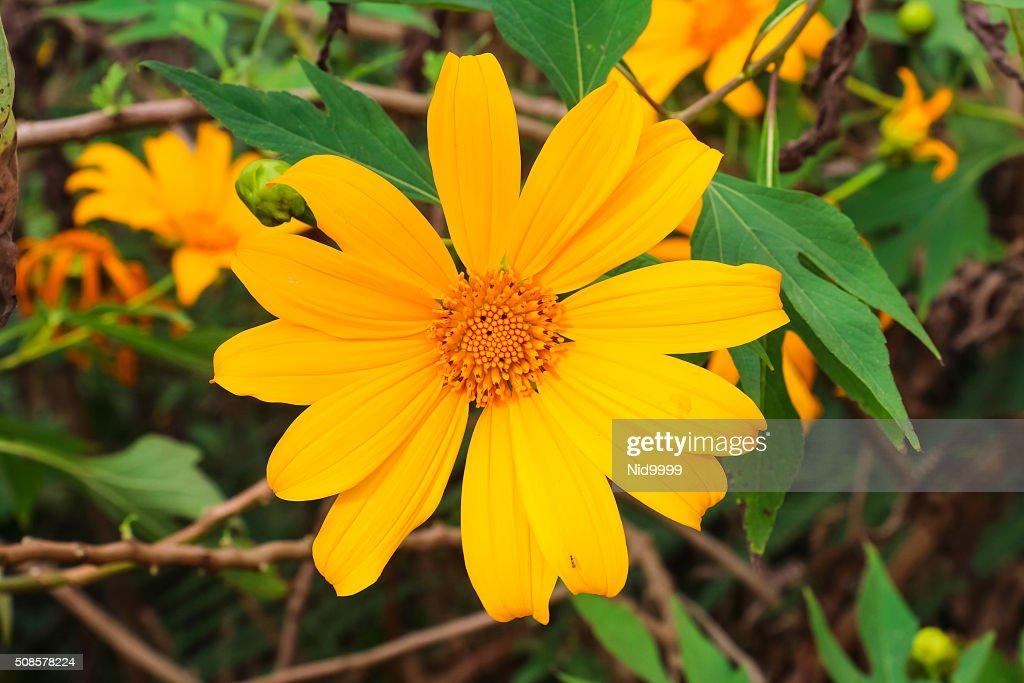 Bua Thong Blumen im Phu Badewanne Berk. : Stock-Foto