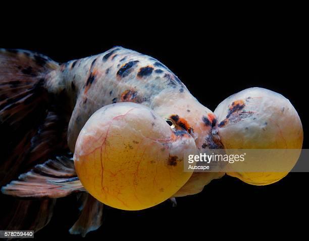 Bubbleeye goldfish Carassius auratus var a doubletail variety that lacks a dorsal fin
