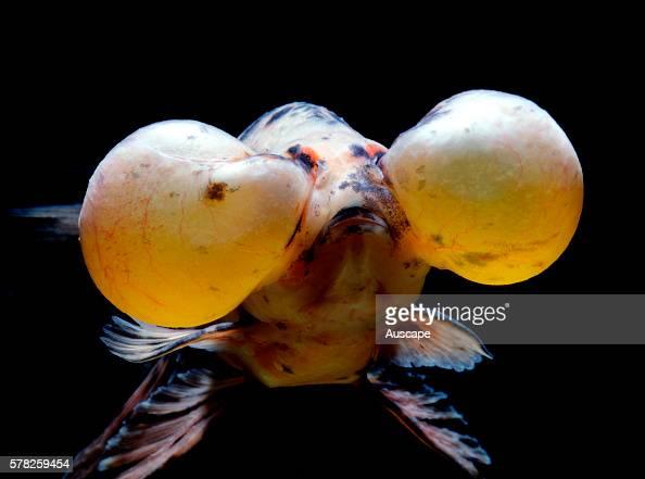 Bubbleeye goldfish Carassius auratus var a doubletail variety that lacks dorsal fin