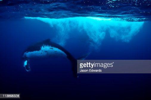 Bubbles and vortices swirl behind a Humpback Whale during a Heat Run. : Stockfoto