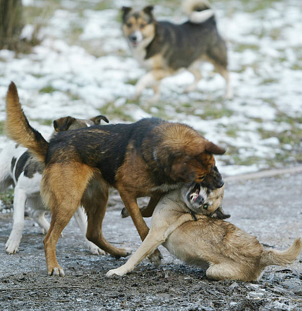 feral dogs in moscow japanese man dies after attack by stray dog in romania photos and