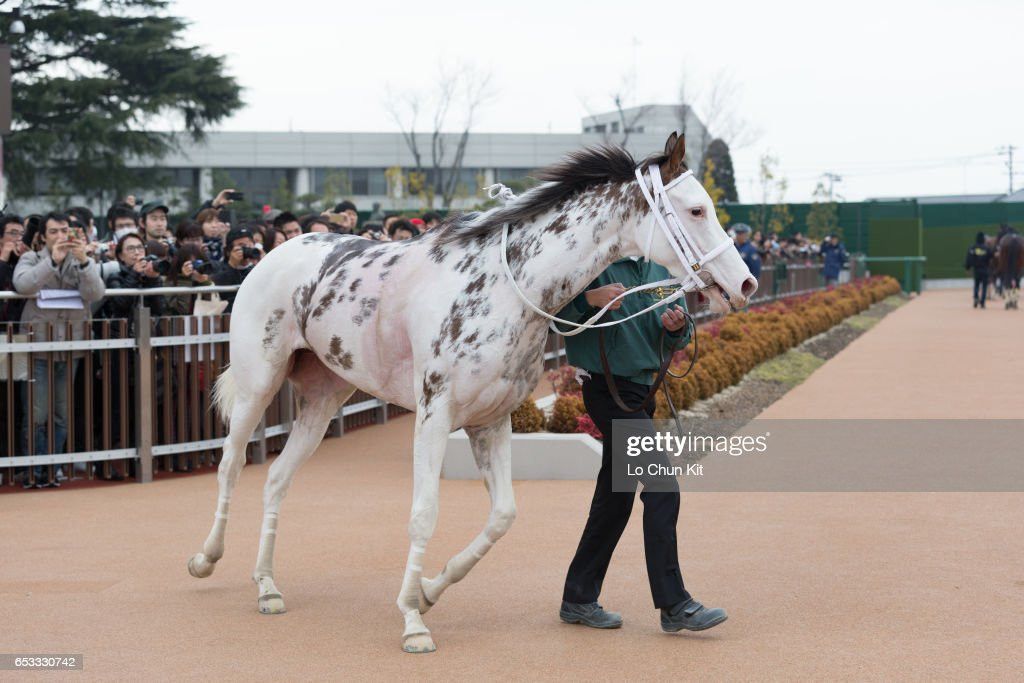 Buchiko wins the Race 10 Kazusa Stakes at Nakayama Racecourse on March 6, 2016 in Funabashi, Chiba, Japan. Buchiko is a striking-white filly with dark spots throughout her coat.