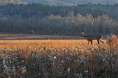 Buck crossing field in fall