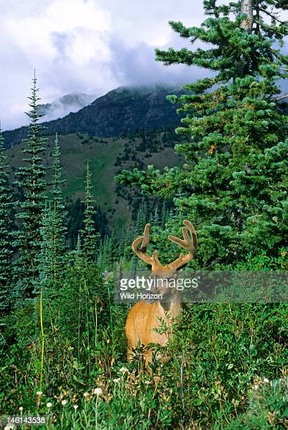 Buck mule deer also known as blacktailed deer with antlers in velvet in a subalpine fir forest Odocoileus hemionus Subalpine fir Abies lasiocarpa...