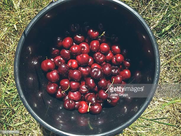 Bucket full of freshly picked cherries