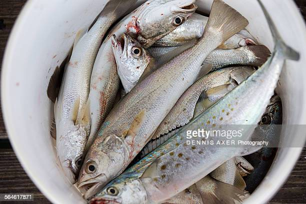 Spanish mackerel stock photos and pictures getty images for Bucket of fish