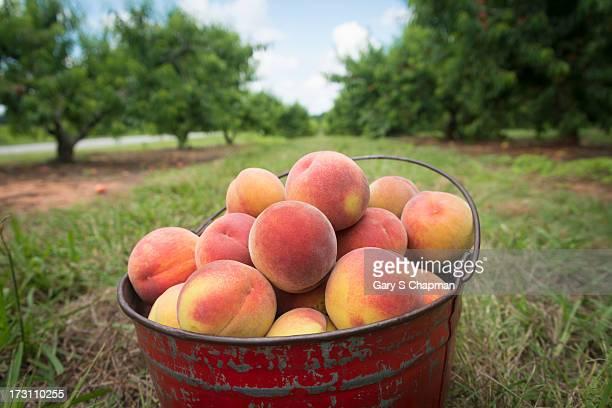 Bucket of fresh picked Georgia peaches
