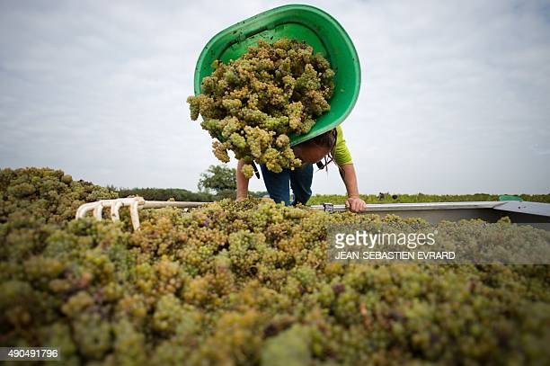 A bucket of grapes is dumped out onto a truck as people harvest grapes on September 21 2015 at the Muscadet vineyards of the Cognettes domain in...