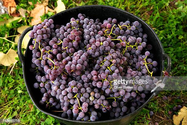 Bucket of grapes.