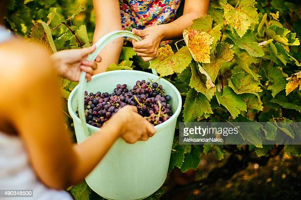 Eimer der Weintrauben