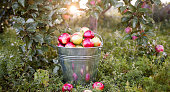 Bucket with ripe apples is  in grass in the sunset garden. Scattered red apples on green garden grass.  Full bucket with ripe apples  on tree branches background.